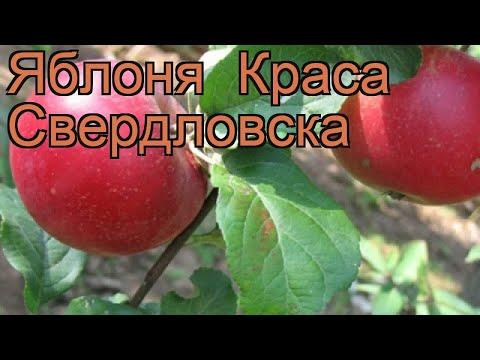 Яблоня обыкновенная Краса Свердловска (malus) 🌿 обзор: как сажать, саженцы яблони Краса Свердловска