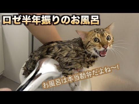 半年ぶりにロゼを風呂に入れたら大変な目に・・・