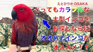 【えとぴりかOSAKA】お喋りでカラフルな大型インコ!【オオハナインコ】