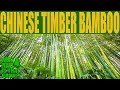 Chinese Timber Bamboo - Phyllostachys vivax - a spectacular bamboo with its golden yellow culms