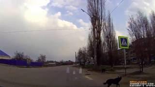 Собаки учат россошанцев правильно переходить дорогу