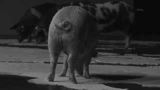 Santiago Sierra  The Trilogy of Pigs Eating Peninsulas  Kappatos Athens Art Residency  May 2015