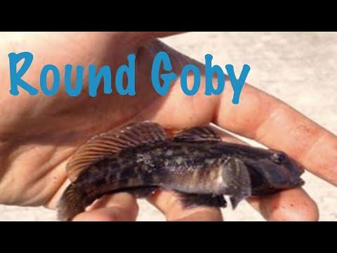 Round Goby - Fishing Urban Ontario (S1: EP3)