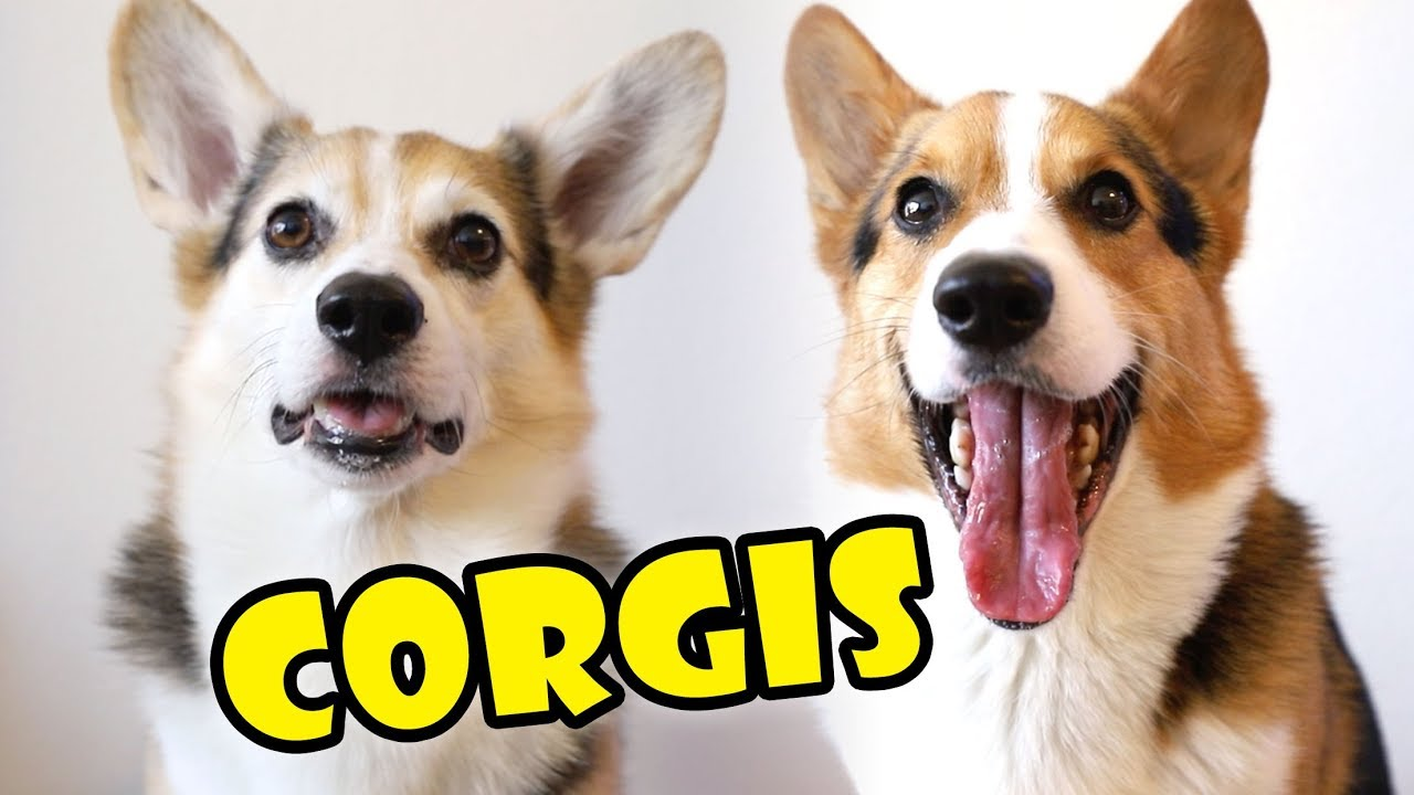 corgis-comparing-personality-in-dog-breed-extra-after-college