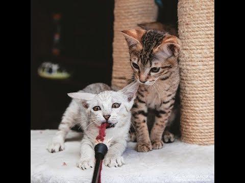 Саванна маркировка кошек