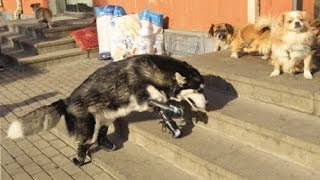 Husky walks again after being fitted with prosthetics