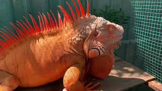 Iguana House . Ghé Thăm Bạn Hiền . Long Xuyên và An Giang . Cùng kết nối đam mê . Iguana lover