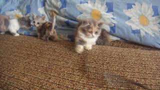 котята манчкин Munchkin
