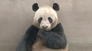 iPanda Streams Live Broadcast of Giant Pandas Mating