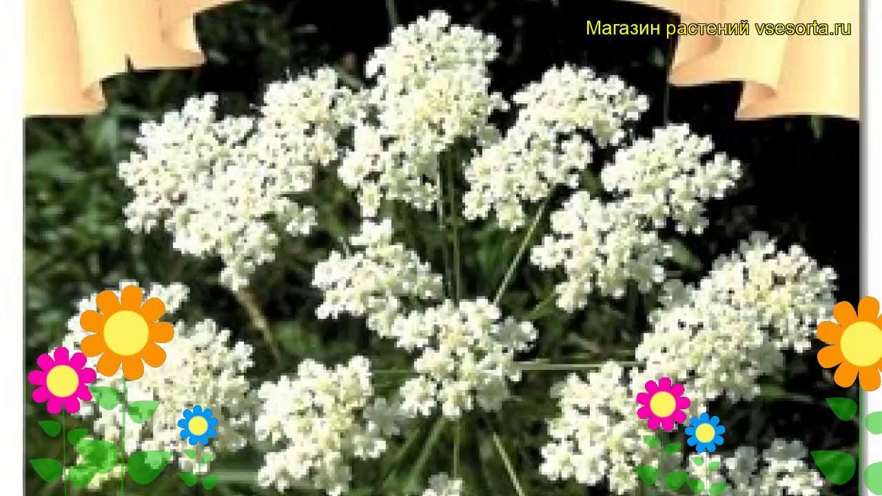 Анис овощной Блюз. Краткий обзор, описание характеристик, где купить семена pimpinella anisum Bliuz