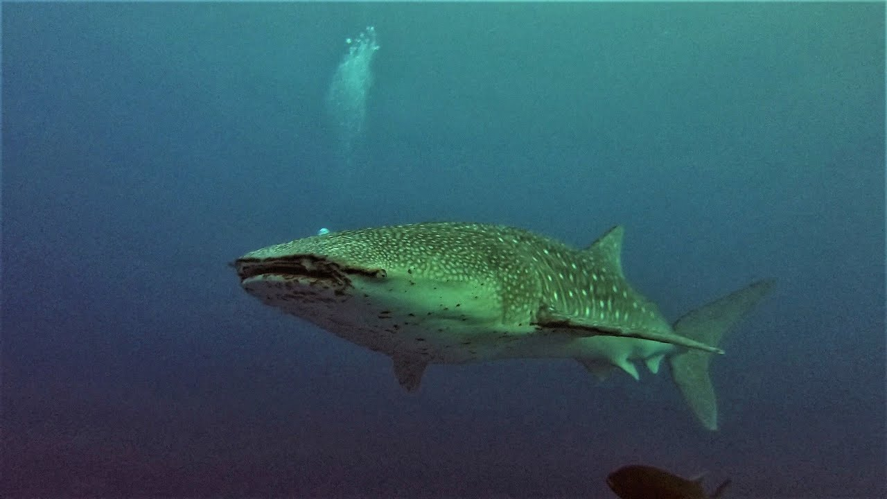 Tubbataha, Sulu Sea, Philippines  Incredible Diving 2 7K