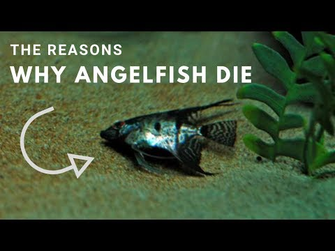 The Reasons Why Angelfish Die