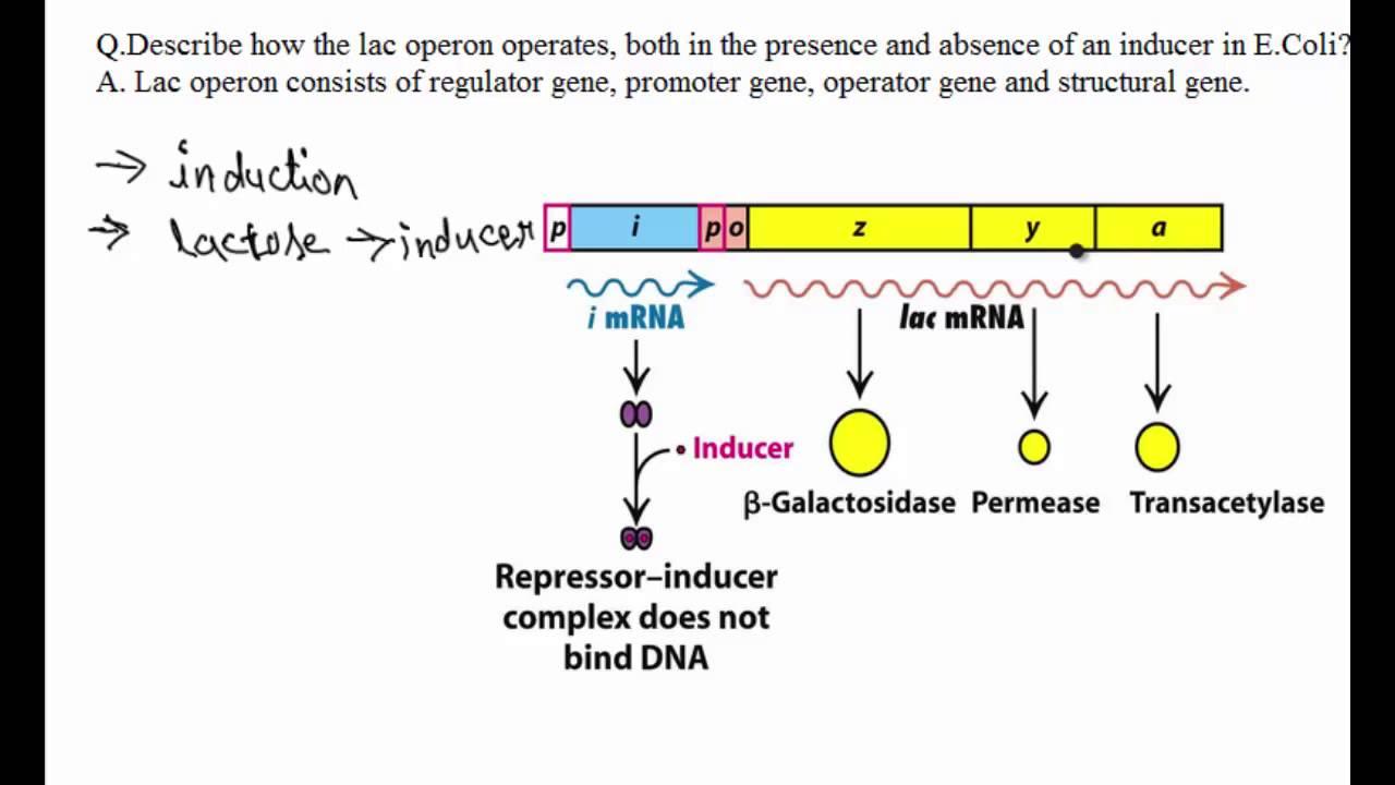 Essay on Regulation of Gene Expression