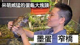 【昆蟲擾西上課了!】呆萌威猛的蛋龜大塊頭 墨蛋&窄橋