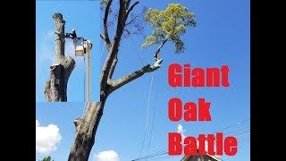 Battling a Giant Willow Oak