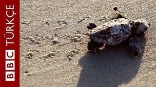 Kaplumbağalar nasıl iletişim kuruyor? - BBC TÜRKÇE