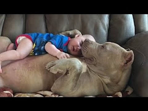 American Bulldog Love And Playing With Babies Compilation 2016 - Dog Loves Baby videos