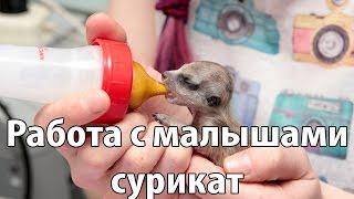 Выкармливание сурикат (meerkat)