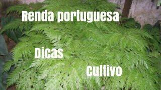 Cultivando renda portuguesa