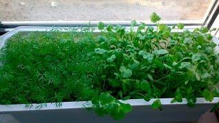 видео Как выращивать укроп на балконе: летом и зимой?