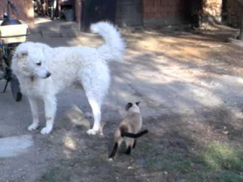 Siamese cat fight with dog kuvasz(sziámi macska harca kuvasz kutyával)
