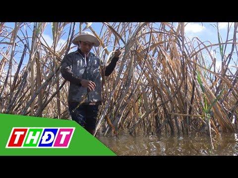 Hậu Giang: Hơn 100 ha mía bị ngập do nước lũ lên cao | THDT