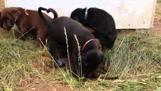Lab And Lab/doberman Mix Puppies For Sale