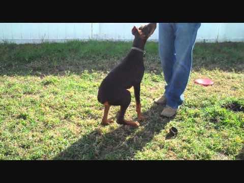 Doberman Puppy Tricks - 5 months