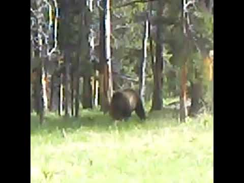 Bear attacks calf elk in Yellowstone National Park
