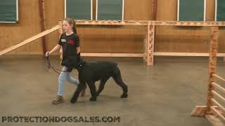 Giant Schnauzer Male 14 Mo's 'Jet' BAB Participant @ Protection Dog Sales