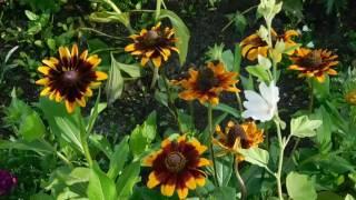 видео Цветы гацания и их фото: выращивание из семян, посадка и уход, однолетник или многолетник