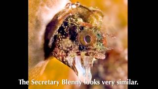 Secretary and Spinyhead Blennies from Blennywatcher.com