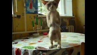 Танцующий котик породы девон-рекс  Питомник IRRUS