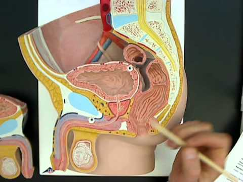 Male reproductive anatomy model 01.wmv