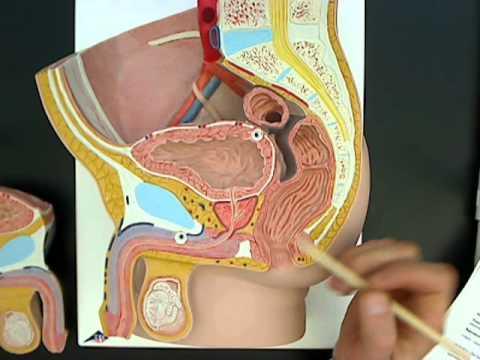 Male reproductive anatomy model 01.wmv