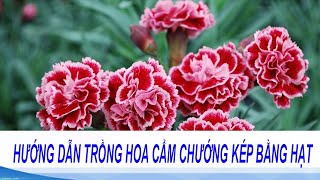 hướng dẫn trồng hoa cẩm chướng kép bằng hạt