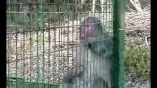 サルによる農作物被害を防ぐ為の捕獲です。