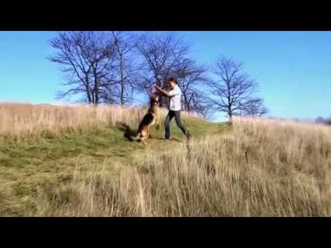 German Shepherd Koda Dog Tricks