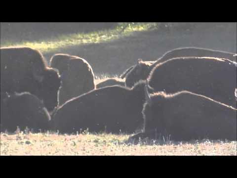 Grand Canyon National Park Buffalo