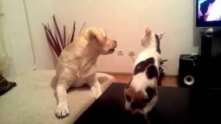 Бой Лабрадора и Кошки