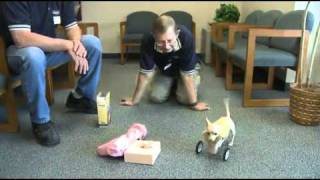 Two Legged Dog Gets Her Wheels