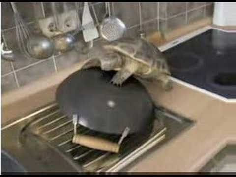 Tortoise courtship of & mating with wok