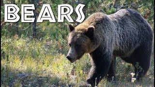All About Bears for Kids: Bears for Children - FreeSchool