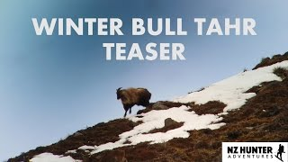 WINTER BULL TAHR TEASER