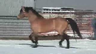 Robbi Sue's Ragtime- 16 hand buckskin stallion