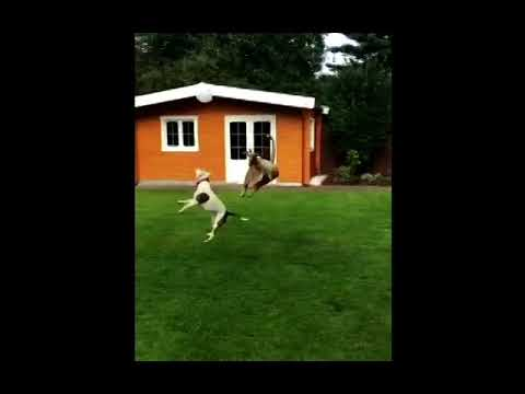 Wendy - Two Dogs Playing Boop With A Balloon