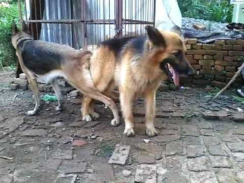 German Shepherd mating