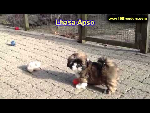 Lhasa Apso, Puppies, For, Sale, In, Cheyenne, Wyoming, WY, Casper, Laramie,