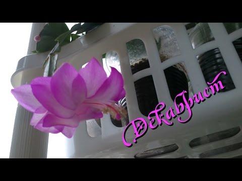 Комнатное растение декабрист Рождественский кактус
