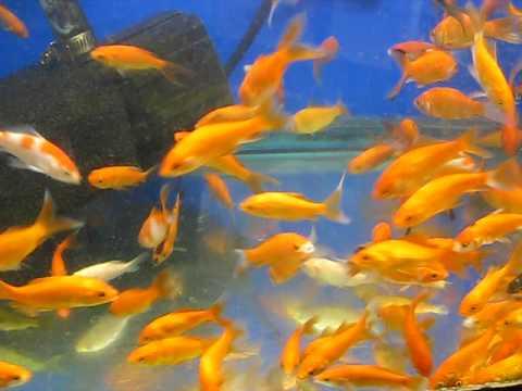 Large Feeder Goldfish JD Deal Publicity